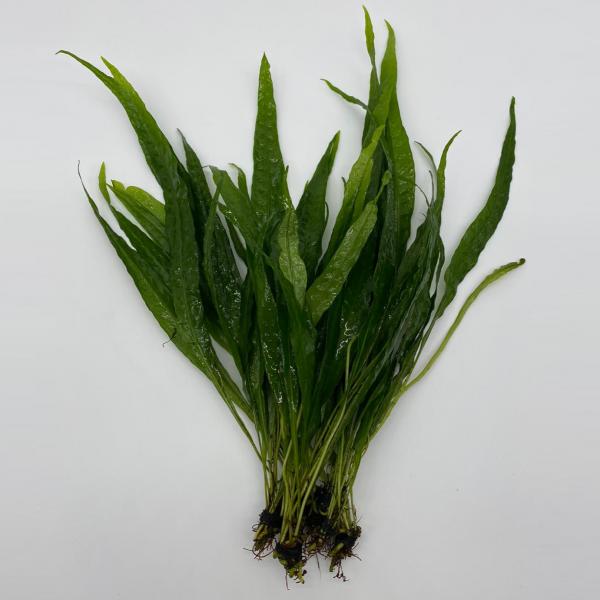 Miscellaneous Plants